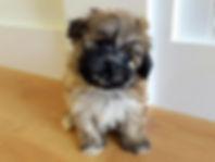 havanese coton de tulear dog puppy havaton