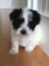 Havaton-puppy-havanese-coton-de-tulear-p