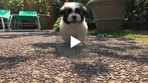 Havaton Puppy.mov