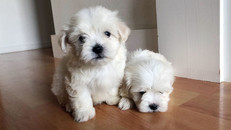 Havaton-puppies-puppy-pride-and-joy-pups