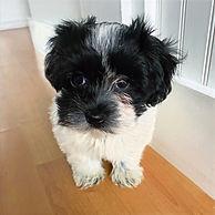 havanese puppy oregon guardian program
