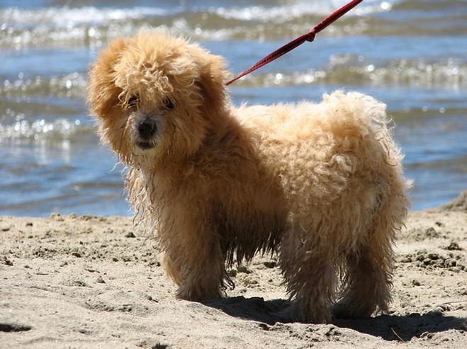 havanese coton de tulear dog puppy havaton curly champaigne lake tahoe