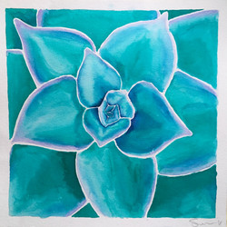 Echeveria lilicina