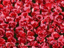 Poppies in centenary tribute
