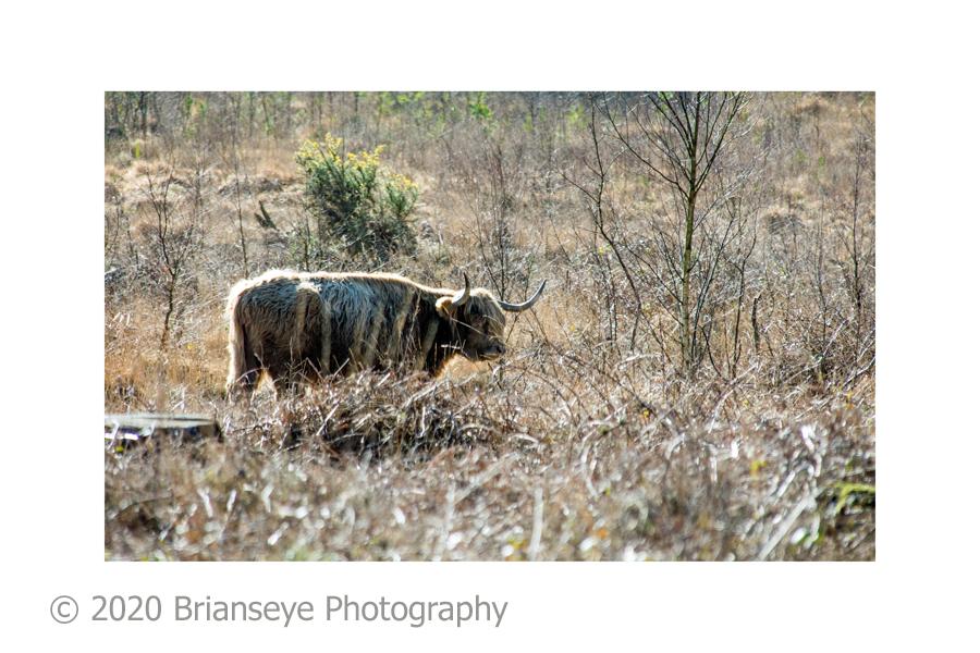 19. RSPB cattle - card