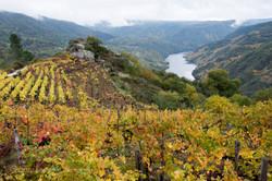 Cristosende vines