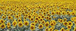 Catalunya Sunflowers