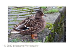 Lady Duck DSC0037_0830