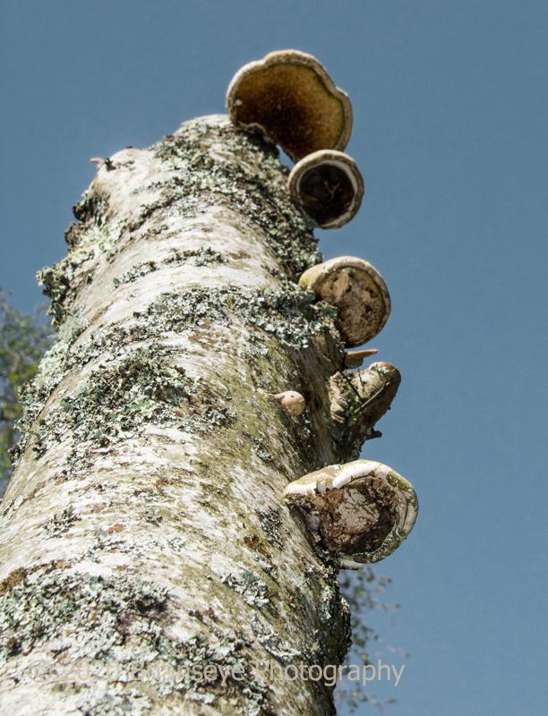 Bracket fungus on Birch trunk