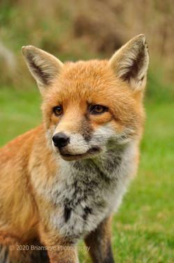 Pretty Red fox