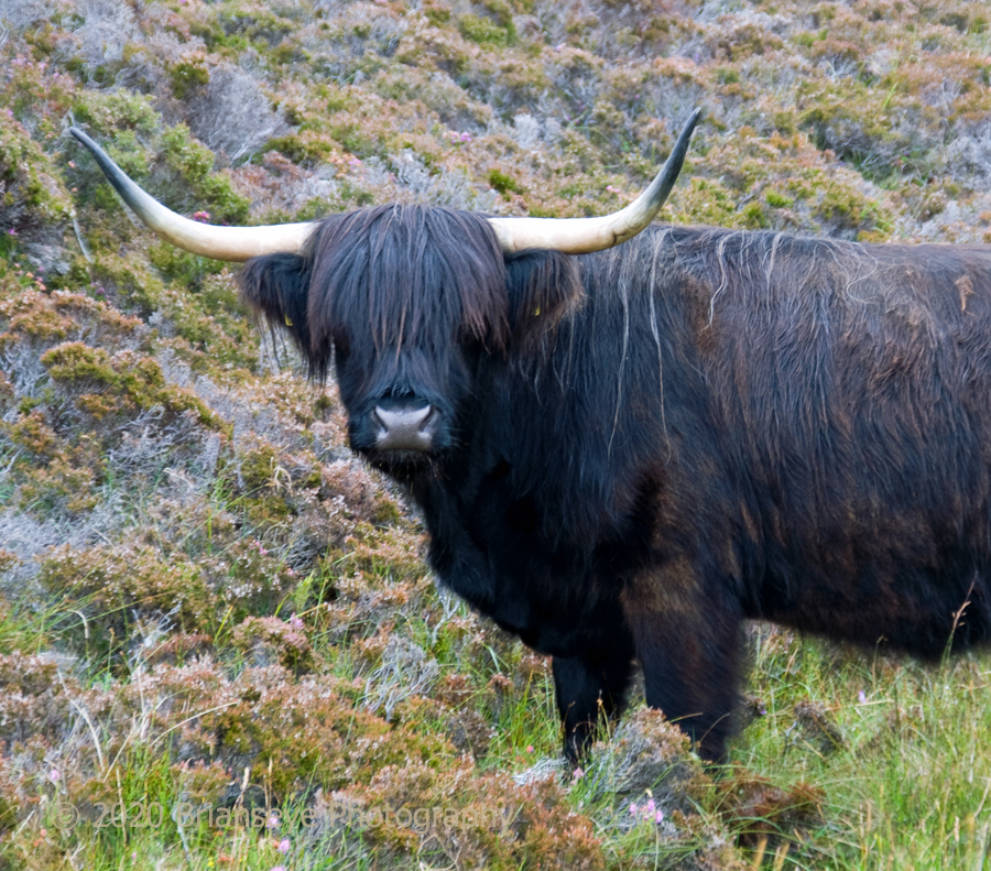 Real Highland cattle