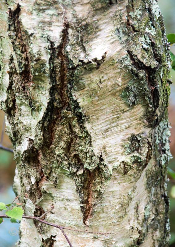 Lovely texture on birch bark