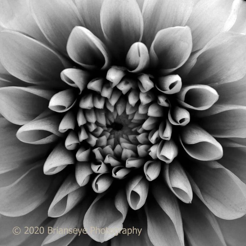 Black and white Dahlia ?