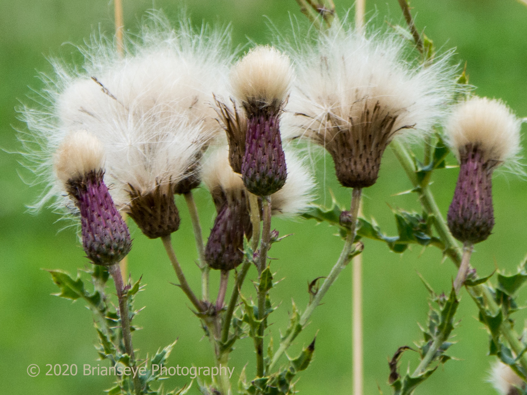 Thistle seeds ready to fly