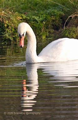 Abinger Swan