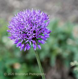 Superb bloom