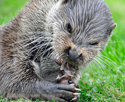 Hungry Otter