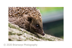 Hedgehog sm card