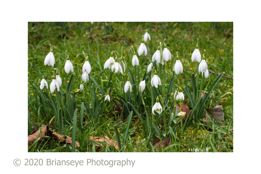 Snowdrops wide card