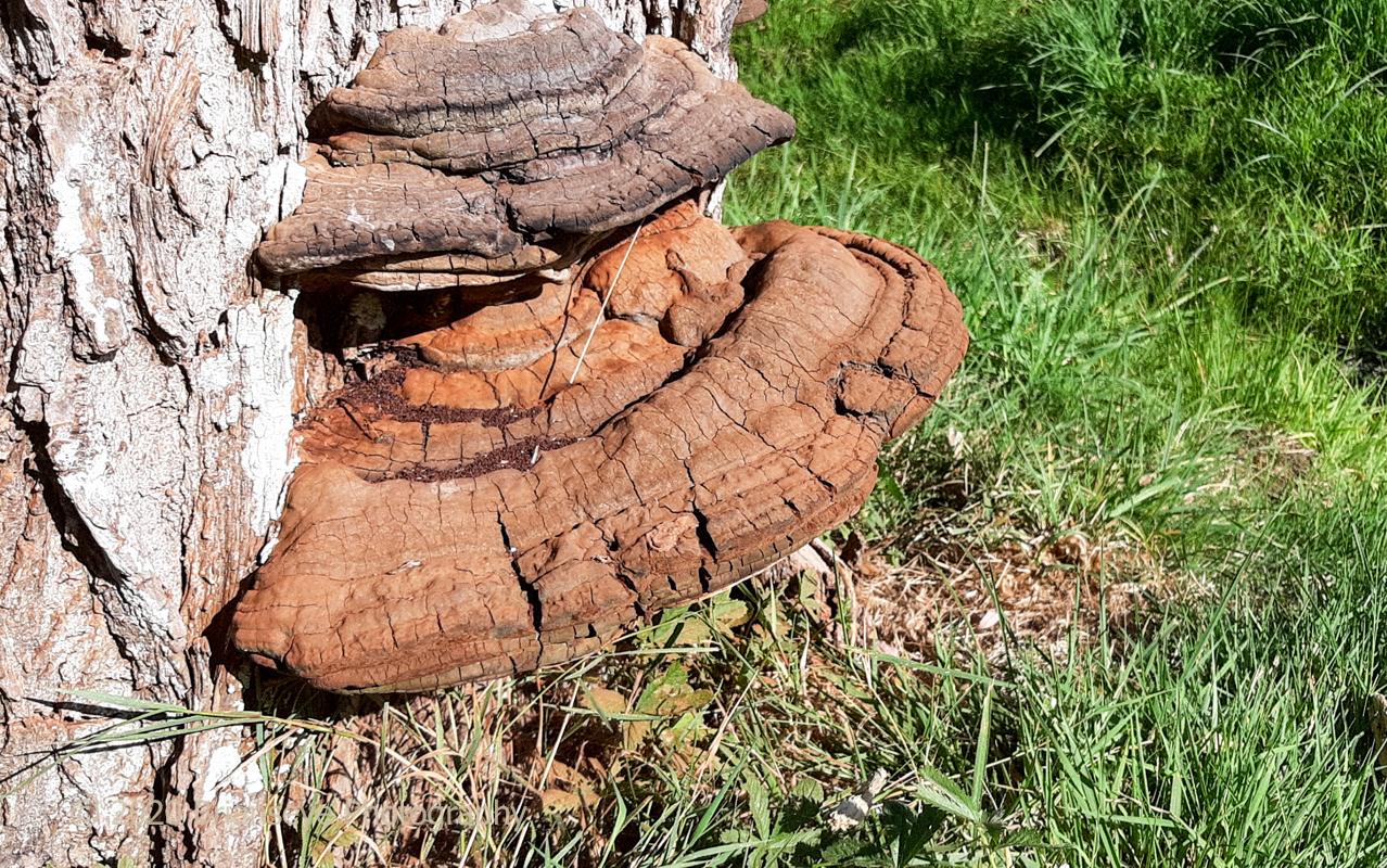 Bracket fungus on dead pine trunk