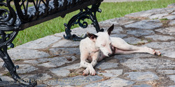 Dog in Cuba