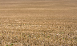 Stubble Field at Kingley Vale