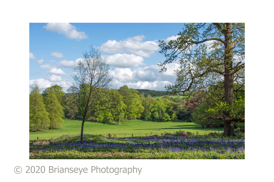 Bluebells - Abinger Roughs 2 - card