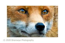 Fox Face - small card