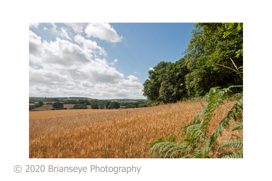 Wotton Corn field 1 -card