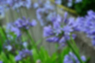 agapanthus-lily-blue-lily-jewelry-lilies