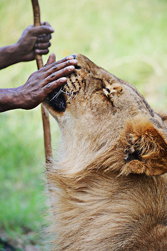 Lion Handler