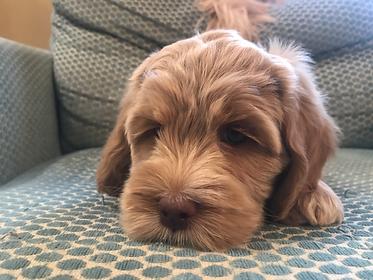 Greystone Australian Labradoodle puppy