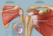 Picture of Rotator Cuff Anatomy