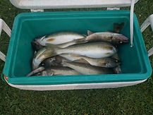 Cooler of fish to take home.