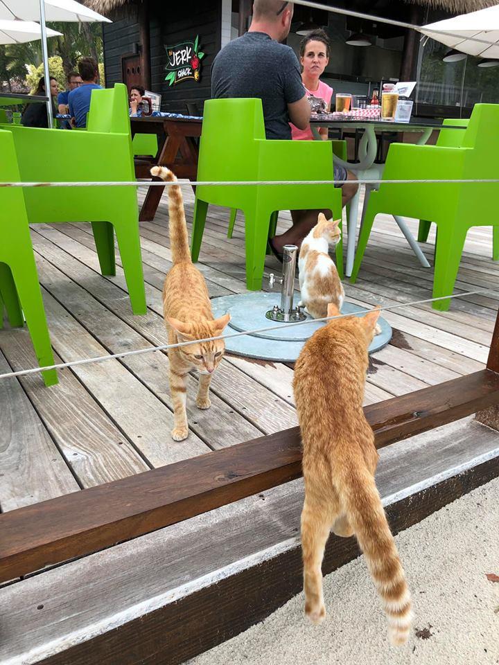 Jamaica cats