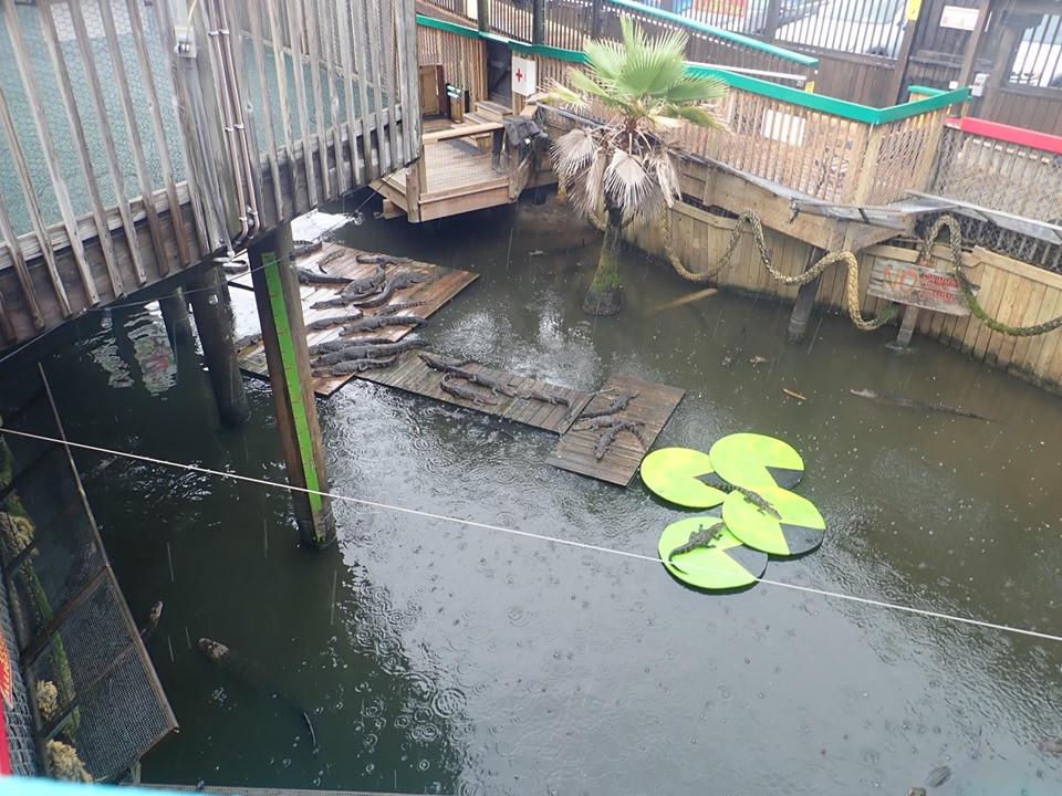 alligators fudpuckers