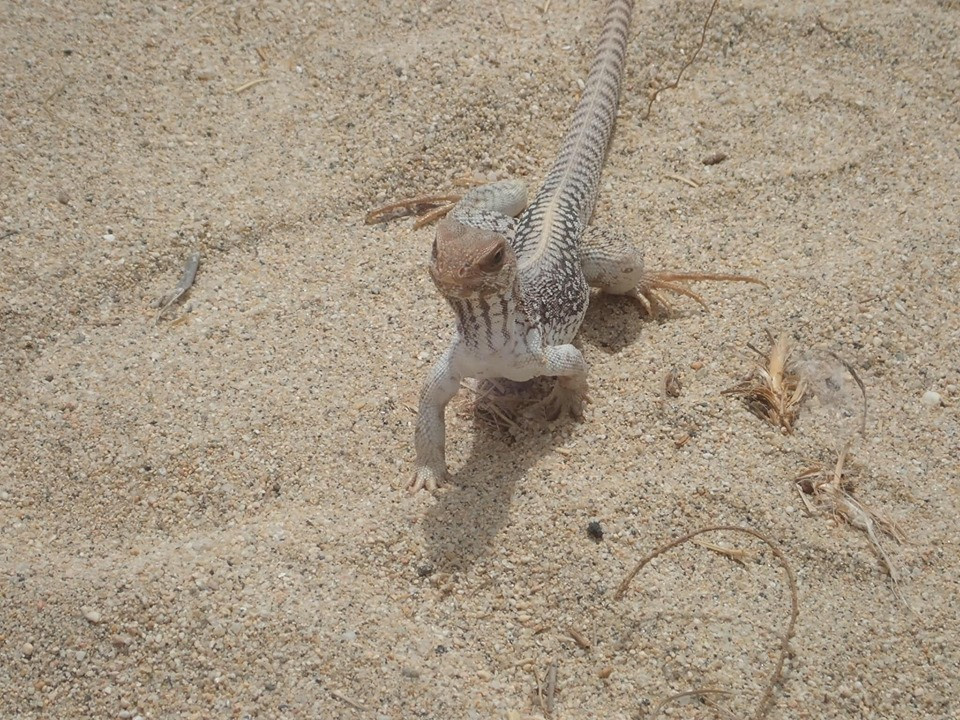 Lizard Cabo Adventures Outback and Camel Ride Safari