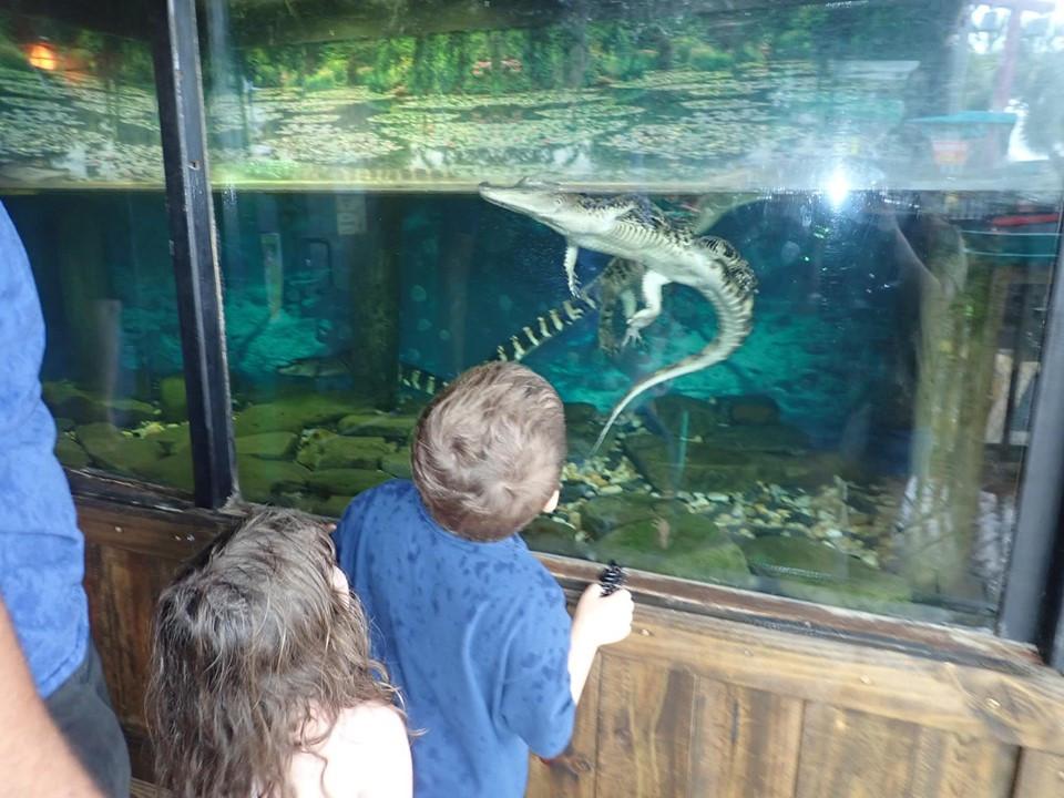 small alligators at fudpuckers