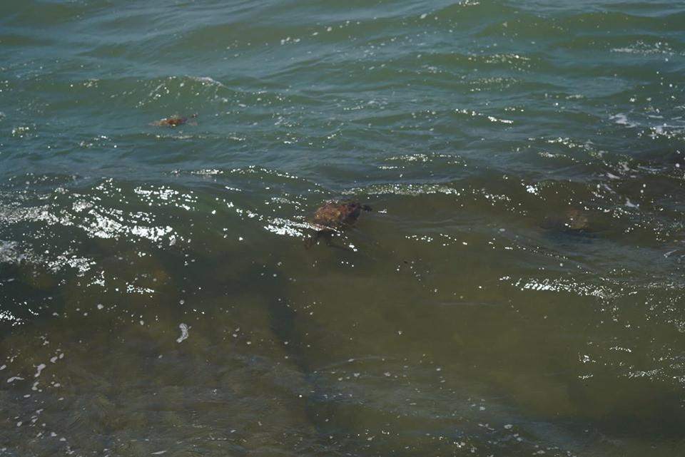 Sea Turtles in Corpus Christi