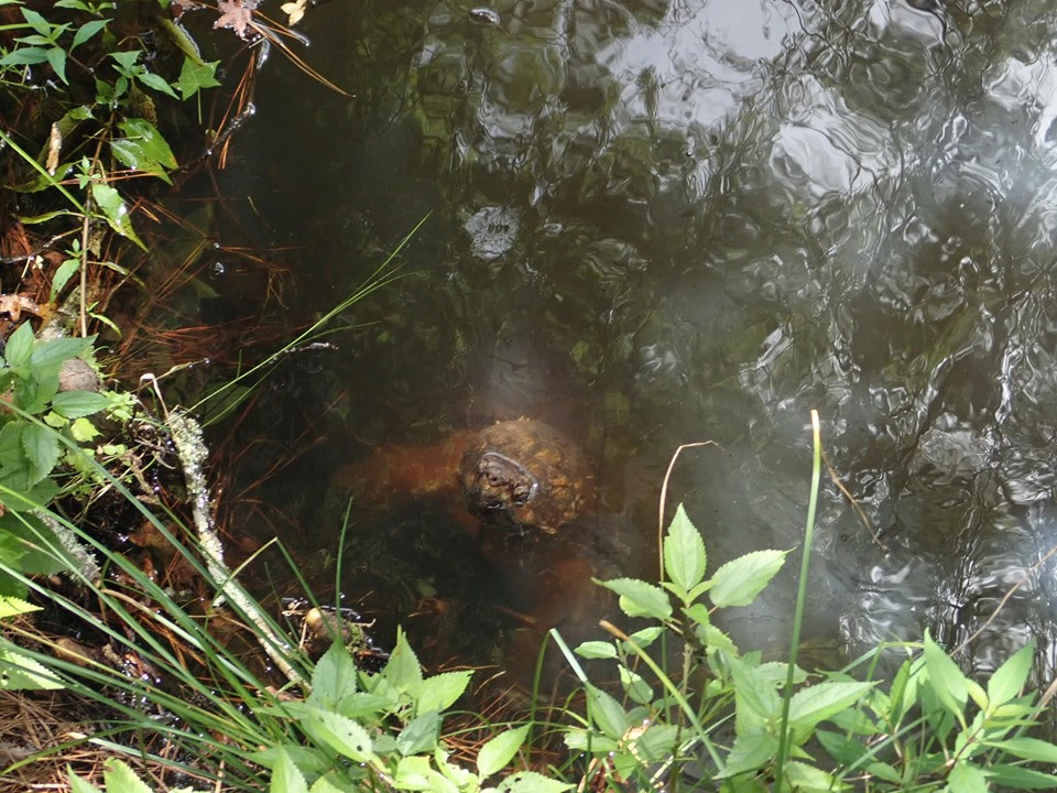 turtle at artesian lakes