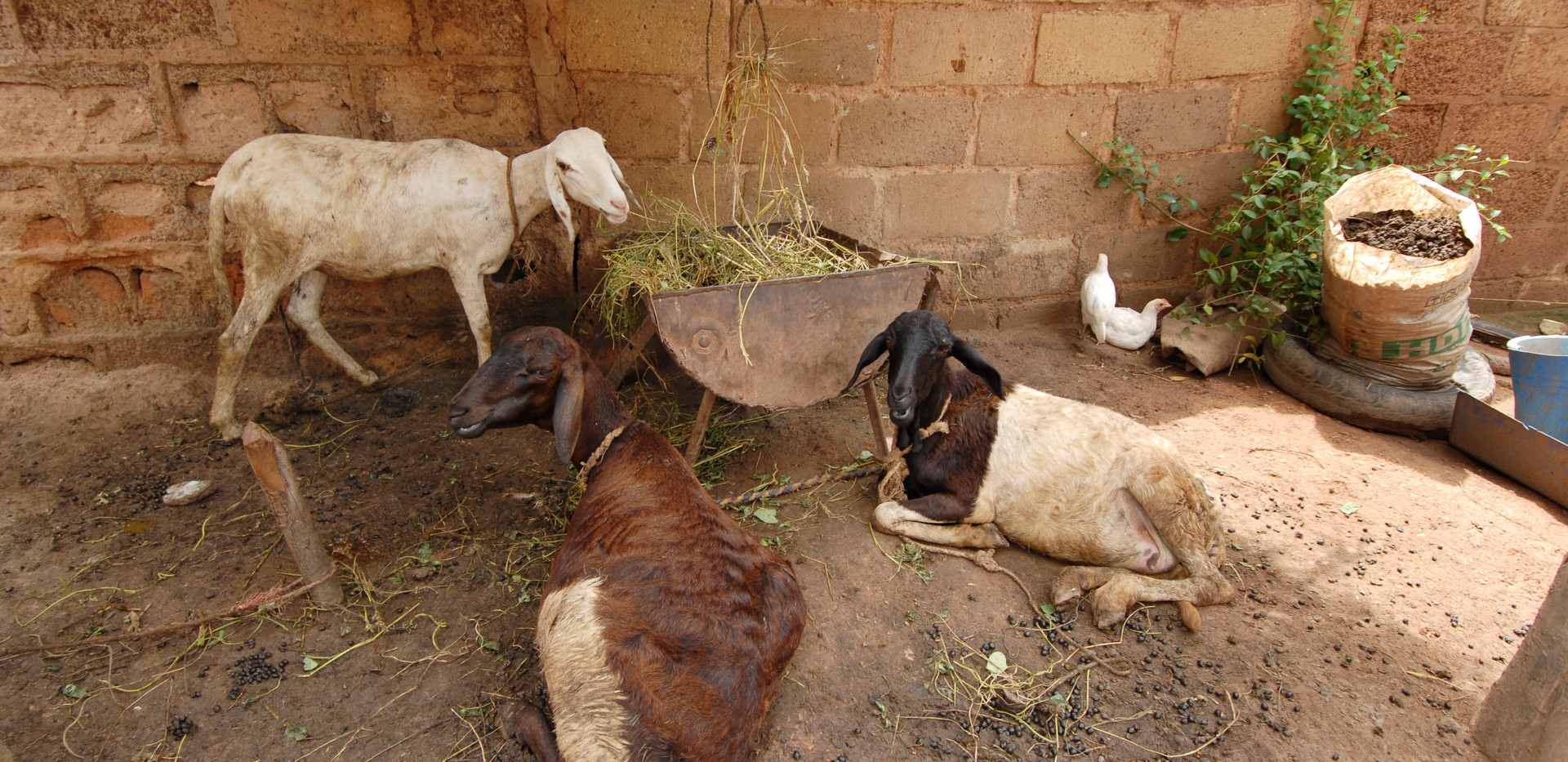 goats_burkina.jpeg
