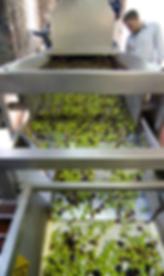 Olivenverarbeitung bei Jordan