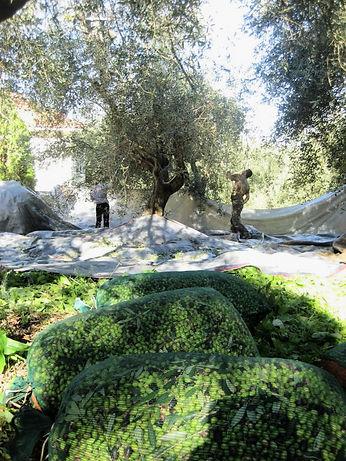 Olivenernte mit weichmacherfreien Netzen