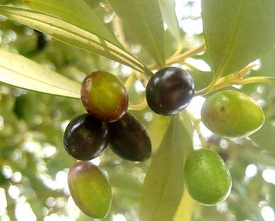 Oliven zum besten Erntezeitpunkt
