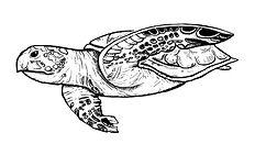 turtle jpeg copy.jpg
