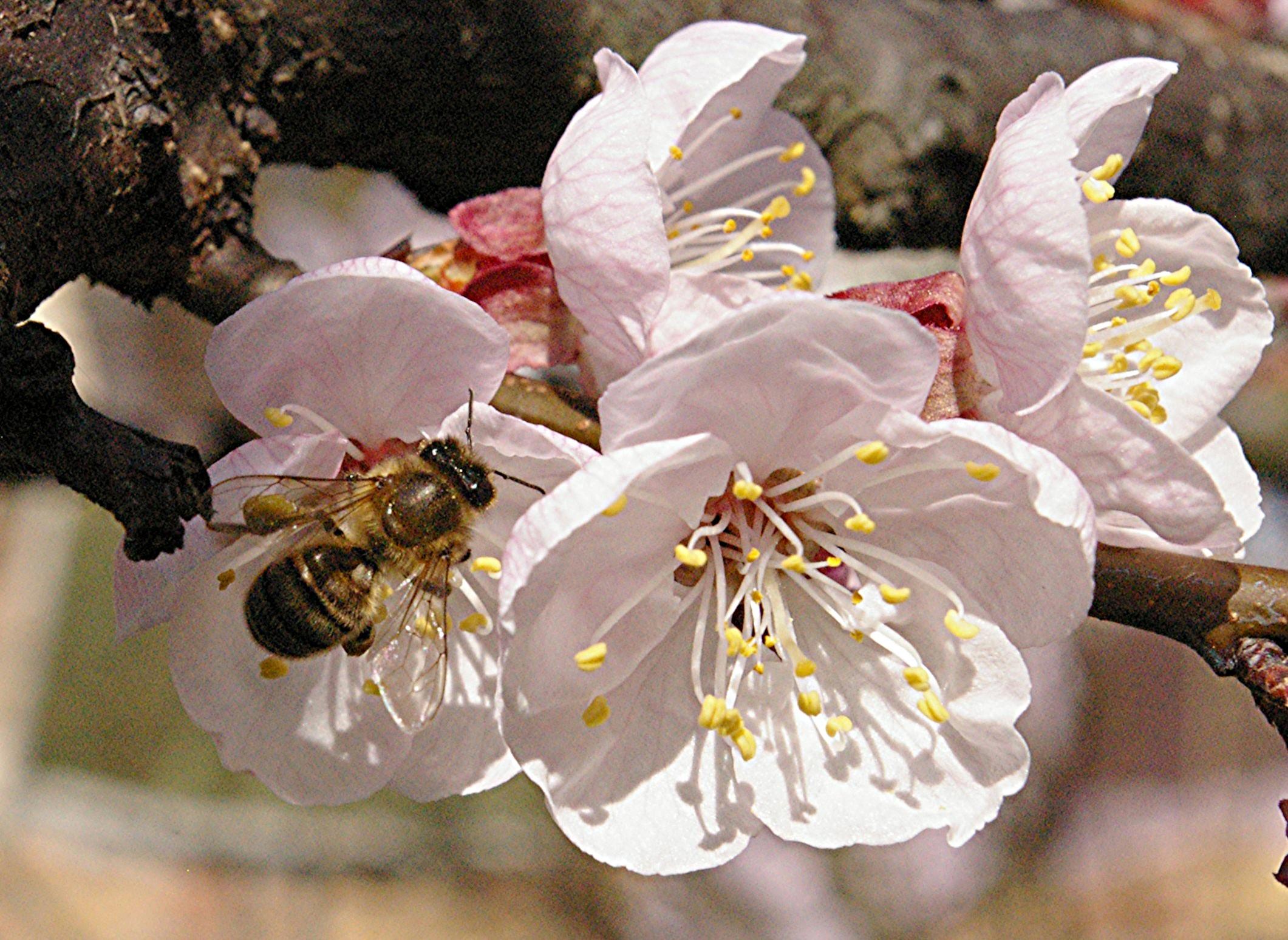 Une butineuse sur fleur d'abricotier