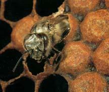 L'abeille sort de sa cellule