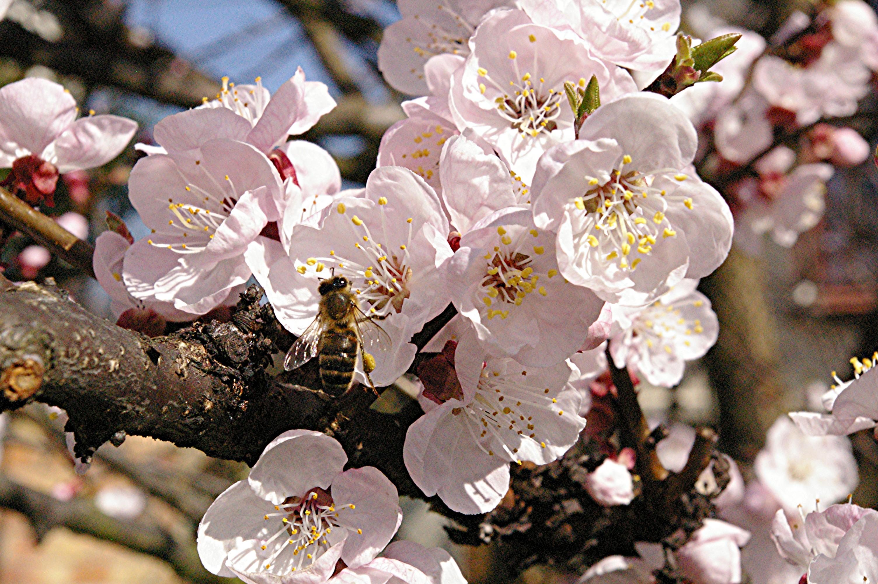 abricotier 19 03 2009 2 015-1