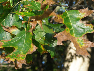 Identifying and preventing Ohio's deadly Oak Wilt disease