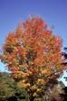 Ohio Maple trees